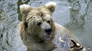 A brown bear