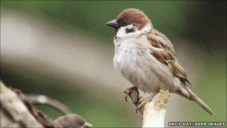Tree sparrow. Pic: Andy Hay/RSPB Images