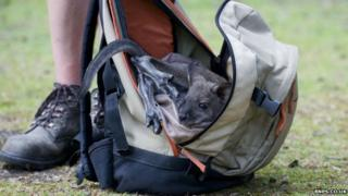 A baby wallaby is being raised in a rucksack in Longleat.
