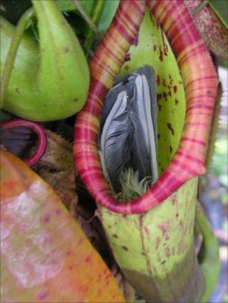 Blue tit caught inside pitcher plant