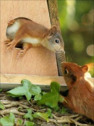Around 400-500 adult red squirrels are living on Anglesey