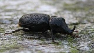 Beetle (picture by Alison Graham, RSPB)