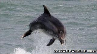 Bottlenose dolphin. Pic: Cornwall Wildlife Trust