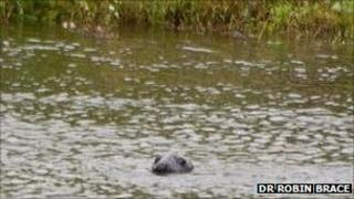 Grey seal in the River Trent