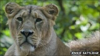 Adult Asiatic lion at Paignton Zoo