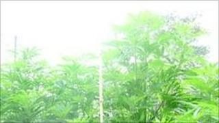 Giant cannabis plants