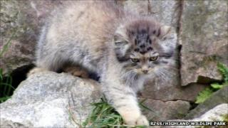Pallas's cat kitten. Pic: RZSS/Highland Wildlife Park