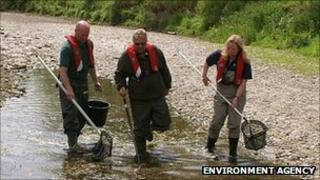 Environment Agency workers rescuing fish on the River Teme in Herefordshire