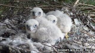 Three hobby chicks at Upton Heath PHOTO: Dorset Wildlife Trust