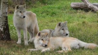 The Arctic wolves in UK Wolf Conservation Trust in Beenham