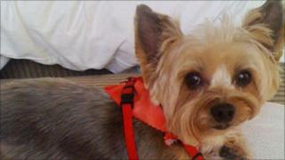 Cooper, a Yorkshire terrier
