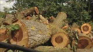 Cut down elm tree