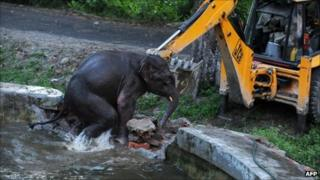Elephant being rescued on 30 August 2011 by a digger in Siliguri