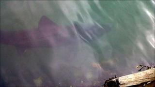 basking shark in portrush harbour