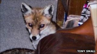 Fox courtesy of Tony Small