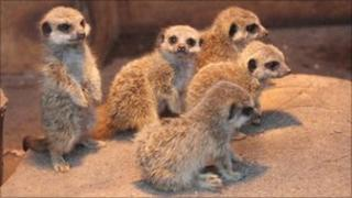 Five meerkat pups at Galloway Wildlife Conservation Park in Kirkcudbright