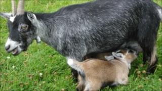 Pygmy goat with mother. Picture: Easingwold Maize Maze