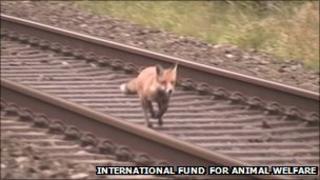 Fox on railway