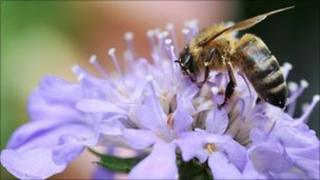 Honey bee on a flower