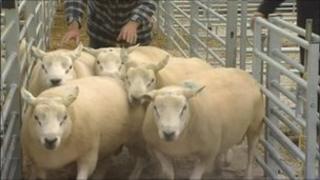 Sheep mart