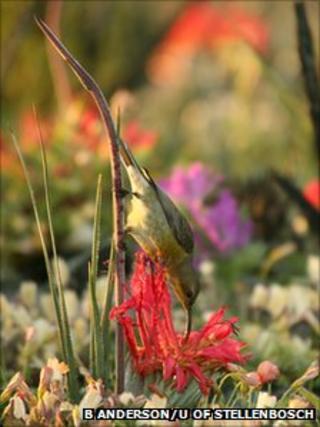 Sunbird feeding (Credit: S.Barrett/UofT)