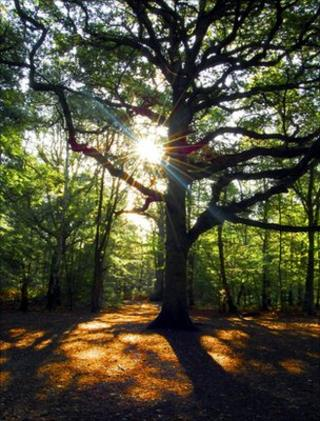 Oak in a woodland (Image: BBC)