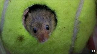 Harvest mouse in a tennis ball