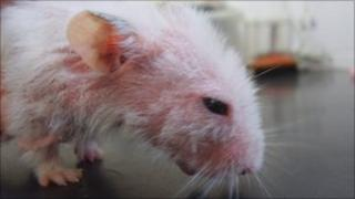 Hamster with skin condition