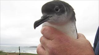 One of the rescued Manx shearwater Photo: Iolo ap Dafydd