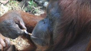 Shirley the Orangutan with a cigarette. Photo courtesy of Nature Alert