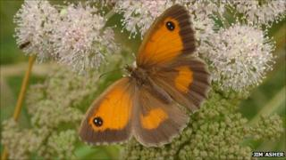 Gatekeeper butterfly. Pic: Jim Asher/Butterfly Conservation