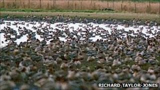 Pink-footed geese at Martin Mere