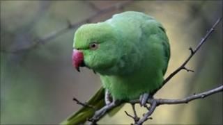 A parakeet