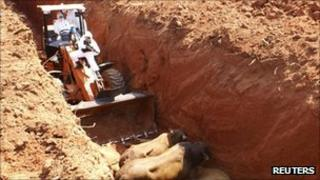 Paraguayan workers shoot cattle in a trench
