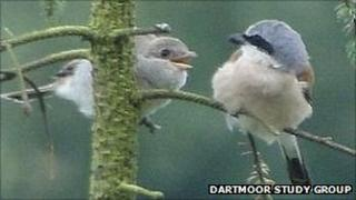 Adult red-backed shrike and young (Dartmoor Study Group)