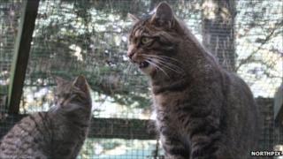 Scottish wildcats. Pic: Northpix