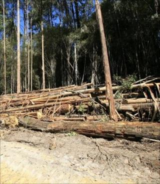 Felled trees (Image: BBC)
