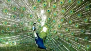 Peacock. Photo: BBC