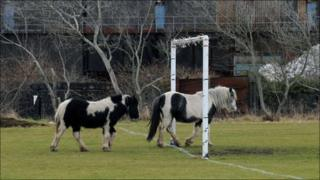 Two of the stray horses at Crown Park in Llanelli in January