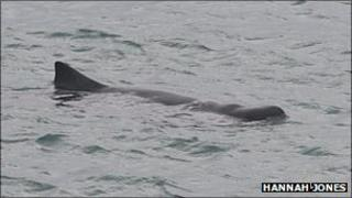 Dwarf Sperm Whale - Pic: Hannah Jones of Marine Discovery, Penzance