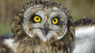 Long eared owl. Pic: SSPCA