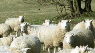 Sheep in North Yorkshire