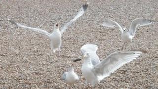 Seagulls in Aldeburgh