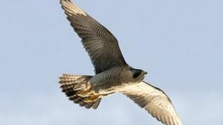 Peregrine falcon - generic