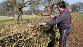 Man laying a hedge using traditional methods