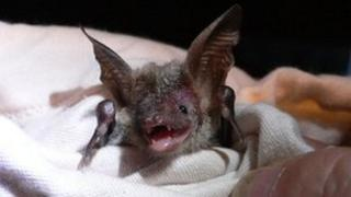 A rare Bechstein's bat found in the New Forest