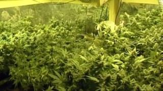 Cannabis plants discovered in the raid