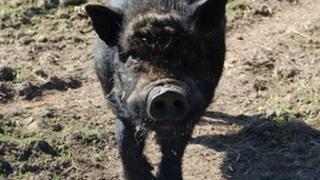 Rocky the pig at The Butterfly and Wildlife Park
