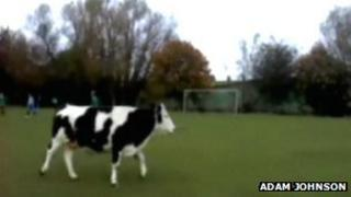 Cow on the pitch
