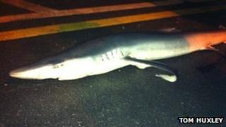 The blue shark in Aberystwyth